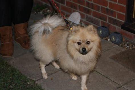 Hugo For Pom Hugo 2 Year Pomeranian For Adoption