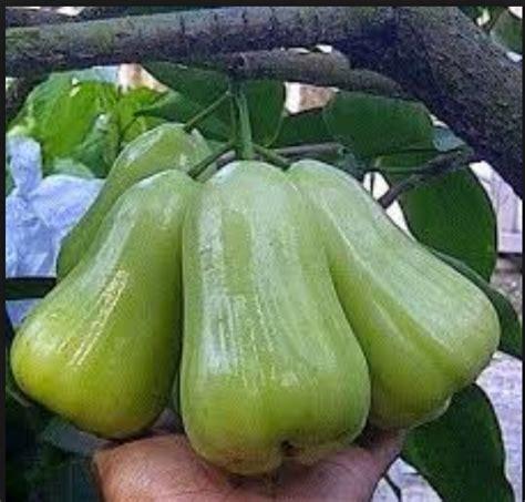 Bibit Mangga Madu bibit jambu madu dheli hijau rasa semanis madu hasil bumi