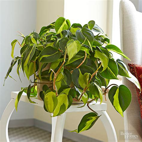 houseplant vine indoor plants for low light