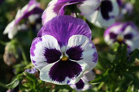 foto fiore viola le meraviglie mondo il significato dei fiori viola