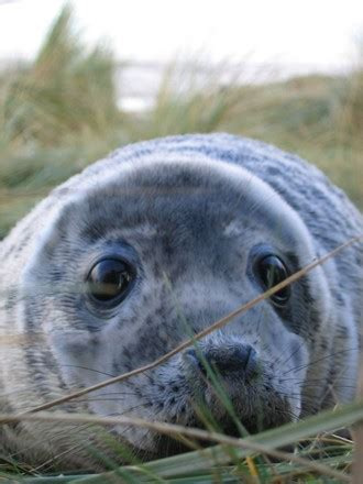 free seal at donna nook, lincolnshire, uk stock photo