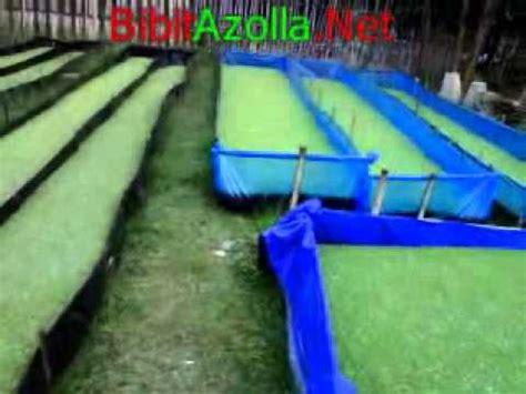 Benih Azolla Microphylla jual azolla microphylla kandungan protein 24 30 pakan