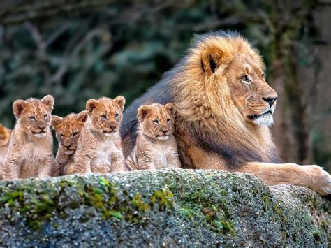 lion family background hd widescreen resolution