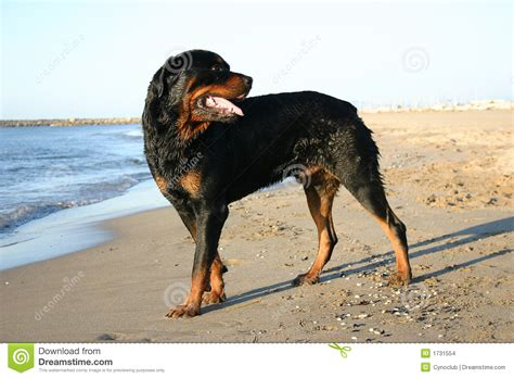 large rottweiler large rottweiler on the stock images image 1731554
