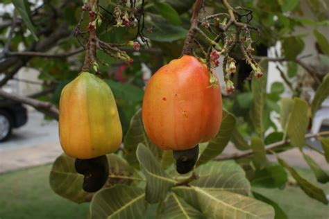 Cashew Nut cashew nut tree anacardium occidentale