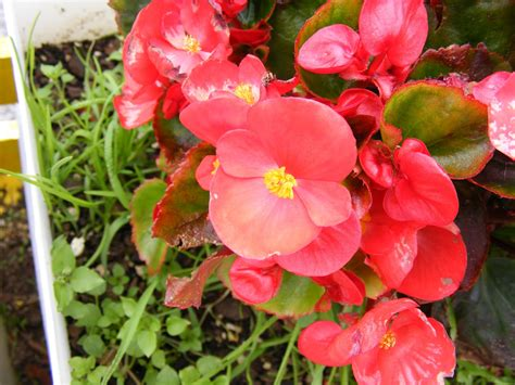 photographing new zealand begonia color