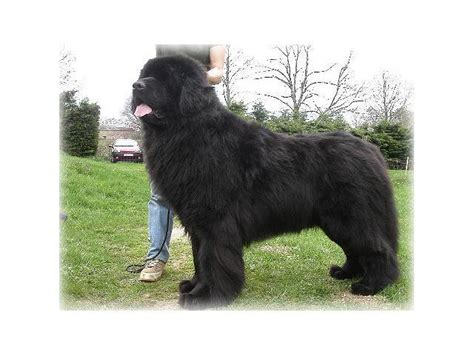 newfie puppies for sale newfoundland puppies for sale centurion puppies for sale