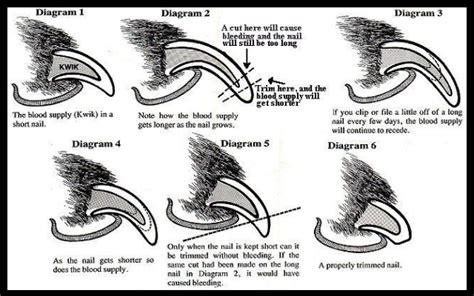 how to trim black nails how to trim dogs nails including black nails mechanics