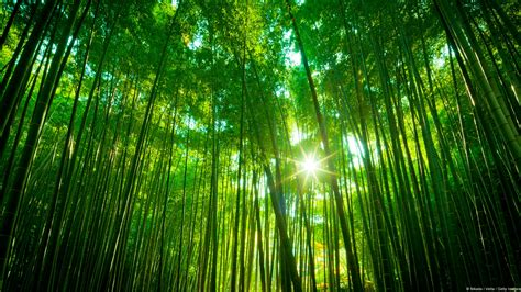bamboo japon windows theme hd fond decran apercu