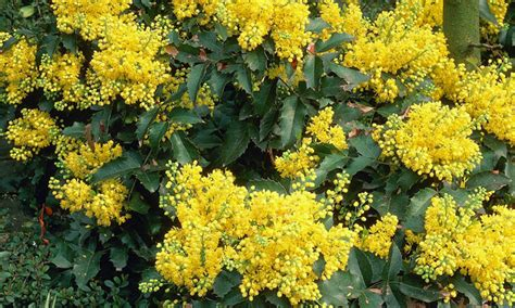 hardy flowering evergreen shrubs six hardy evergreen shrubs for 163 29 99 with free delivery