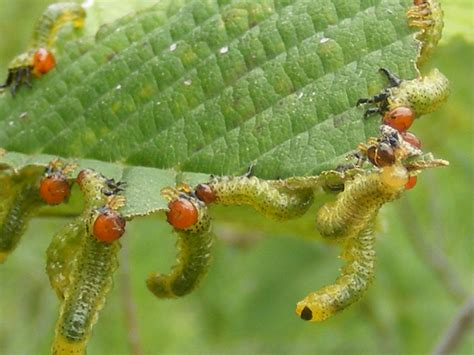 plant insect interaction sawfly larvae feeding on an elm