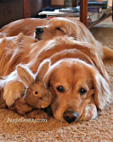 are golden retrievers expensive 17 reasons golden retrievers are not the friendly dogs everyone says they are