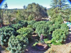 25 plant quot 618 quot lb mendo dope marijuana garden featured in