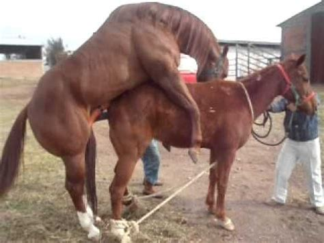 caballos sementales cuarto milla caballos cuarto de milla en rancho la alegria degollado