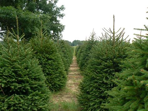 christmas tree farms tree lots hayrides sleigh rides and