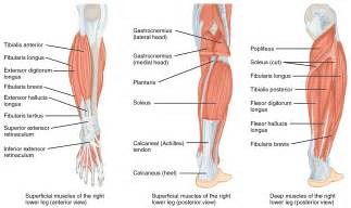 anatomy of the lower leg gastrocnemius and soleus