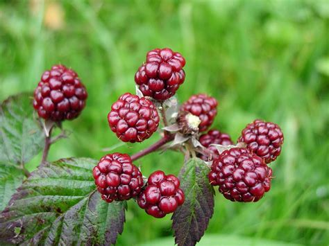 Blackbarry Jump Fruit file blackberries fruit jpg wikimedia commons
