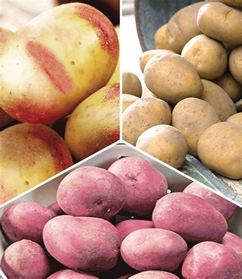 wann kann kartoffeln ernten wann kartoffeln pflanzen kartoffeln pflanzen und ernten