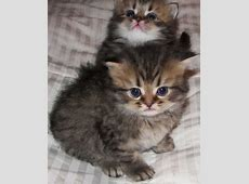 Cats & Kittens - For Sale Ads - Free Classifieds Kittens For Sale