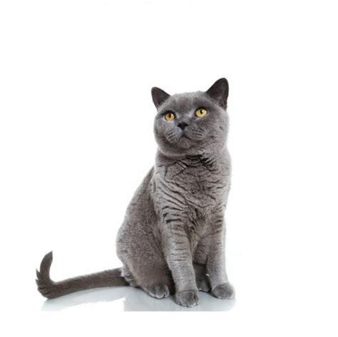 gato pelo corto british shorthair gato brit 225 nico de pelo corto