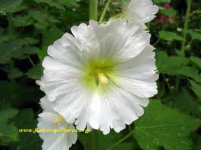 flower images white hollyhock flower pictures