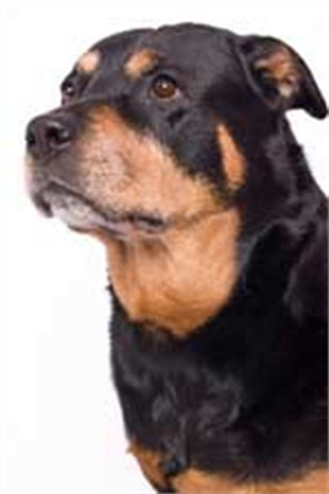 cool rottweiler names rottweiler names find cool rottie names for your boy