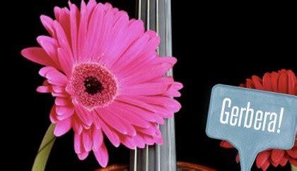 linguaggio dei fiori gerbera significato dei fiori gerbere quale colore scegliere per