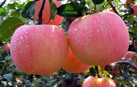 Apel Fuji manfaat apel fuji bagi kesehatan musfi hoedi