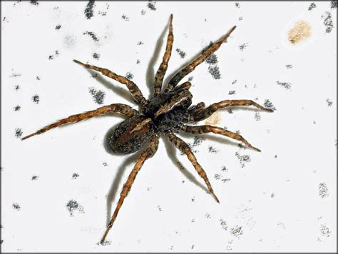 Garden Spider With White Stripe On Back Barbara Maas Galleries Quilts Temari Balls Crochet