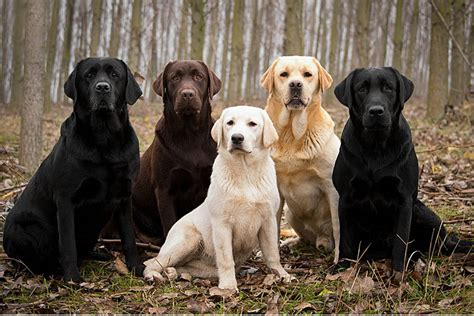 pictures of lab puppies labrador retriever caract 232 re origine prix 233 ducation et conseils race de chien fr