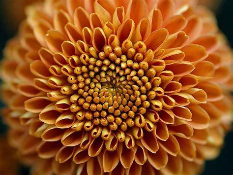 mums flower file mums flower big yellow jpg