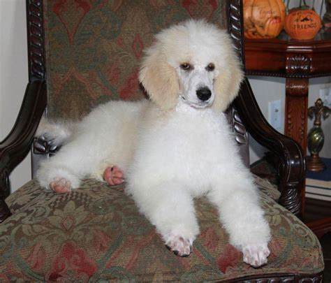 parti poodle puppies standard parti poodle puppies for sale breeders renowned poodlesrenowned poodles