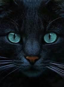 blue eyed black cat cats black pinterest