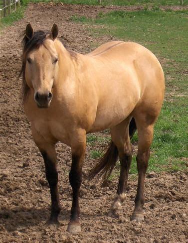 appendix quarter horse breed information, history, videos