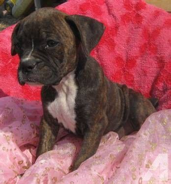 pocket boxer puppies for sale 25 best boxer puppies for sale ideas on boxer pups for sale boxer dogs