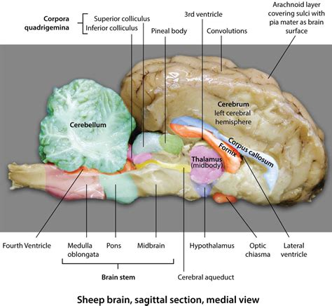 sagittal section of sheep brain lab objectives bio 2310 spring 2018 clare hays biology