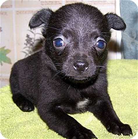 yorkie cairn terrier mix for sale yorkie chihuahua mix puppies for sale rachael edwards