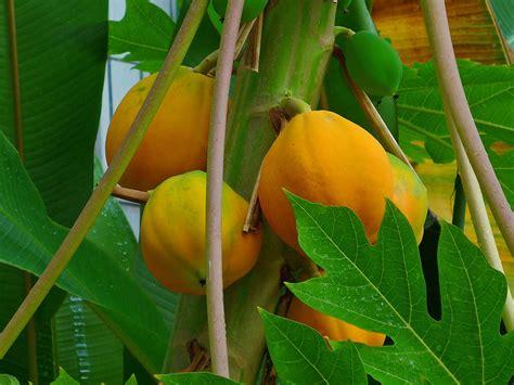 Papaya Garden by File Carica Papaya 005 Jpg Wikimedia Commons