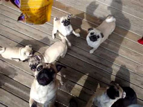 a lot of pugs a lot of pugs in one room