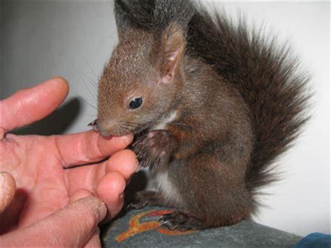 scoiattolo alimentazione scoiattolo