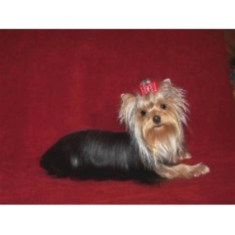 carolina yorkie breeders terrier yorkie breeders in maryland