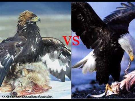 imagenes de leones y aguilas aguila real vs aguila calva youtube