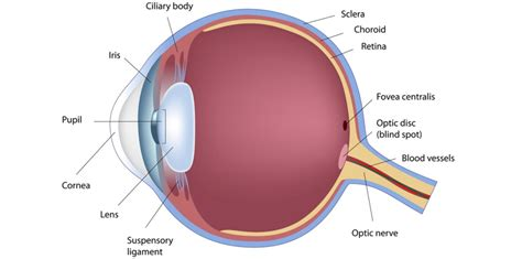 diagram of cornea eye anatomy cornea human anatomy diagram