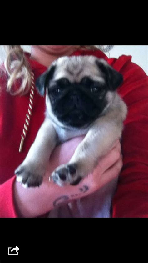 pug x pekingese puppies 3 4 pug x pekingese for sale wigan greater manchester pets4homes