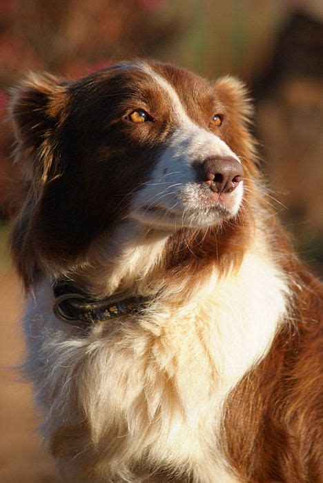 brown border collie puppies brown border collie print by tracey