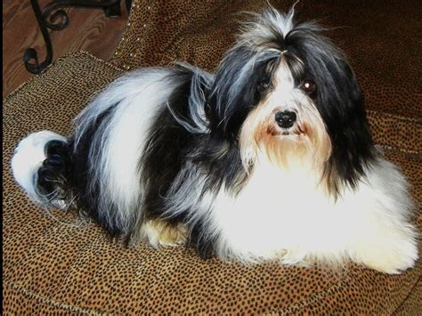 when is a havanese grown havanese dogs grown www imgkid the image kid has it