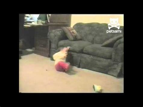 how to discipline a dog after peeing in the house guilty dog pees in the house sticks tongue out funnydog tv