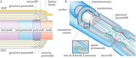 mielina e alimentazione proteina della mielina p0