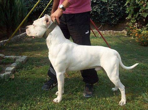 dogo argentino puppies for sale 2016 puppies for sale dogo argentino dogshows