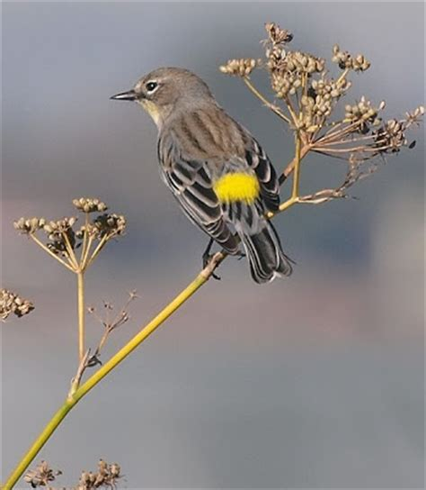 wild birds unlimited warblers in michigan